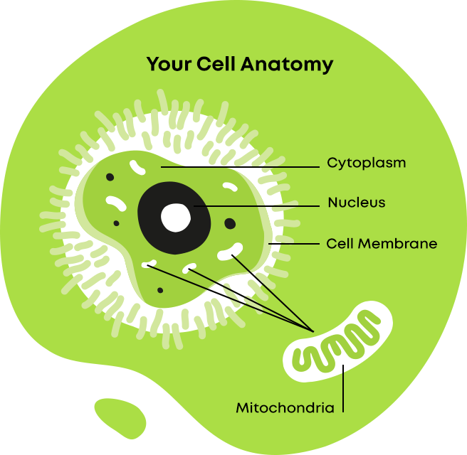 Mitochondrial cell anatomy
